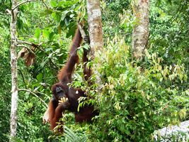 Orang Utan im Semenggoh Wildlife Center