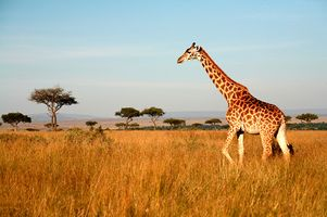 Giraffe in der Savanne Kenias